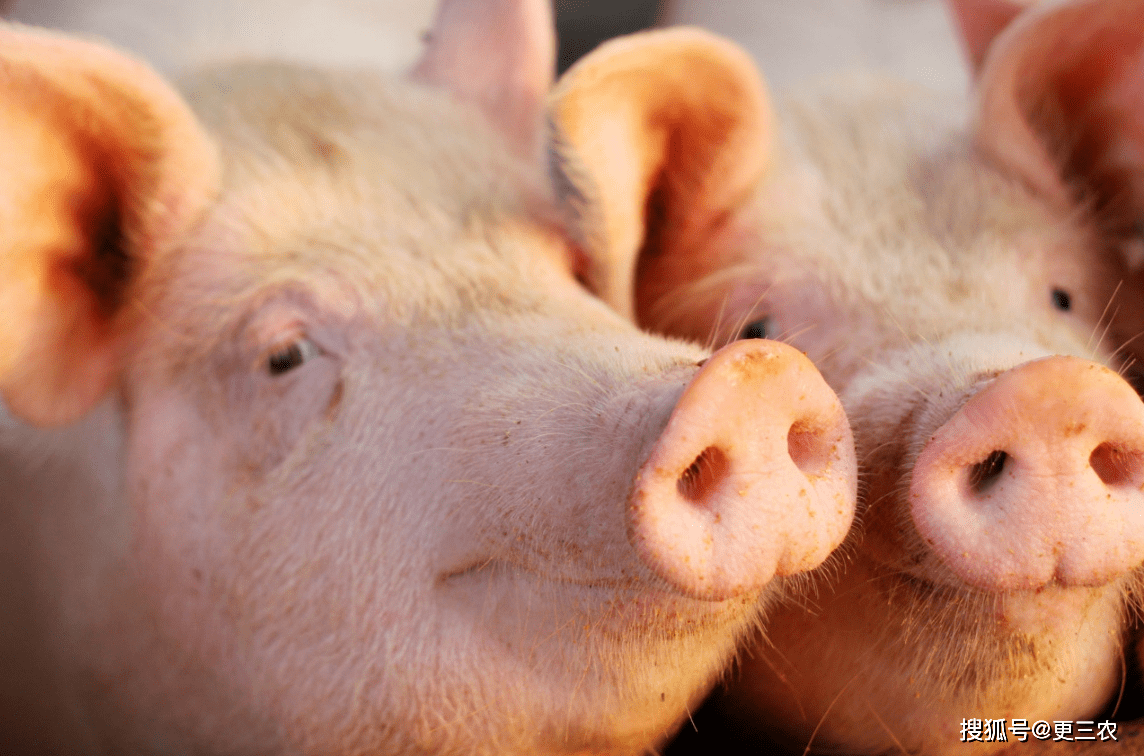 """猪价""""坐火箭"""",行情又是一片红,养殖户春天来了?10月19日猪价"""
