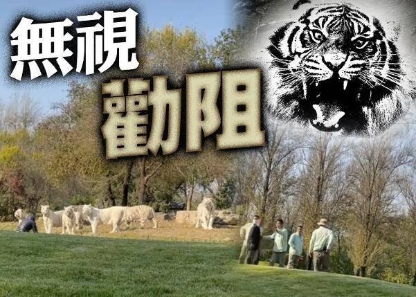 北京有两名游客在野生动物园内自驾游时违规下车与白虎近距离接触