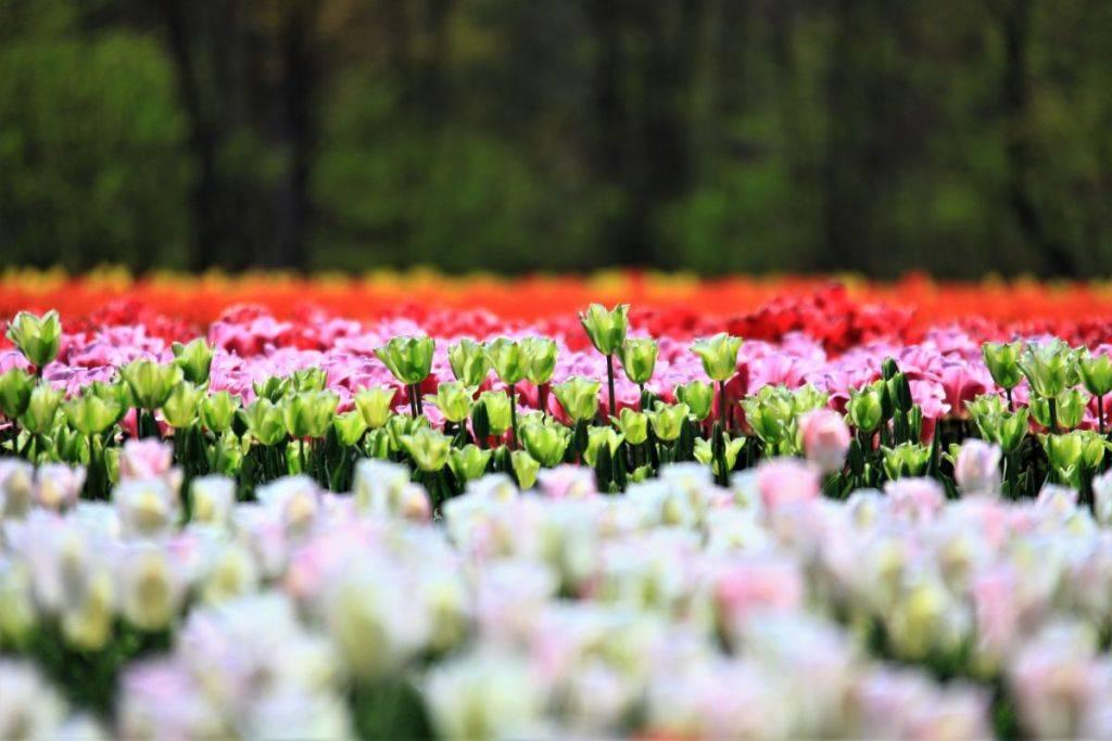 盛开在日本新潟的花海:长池休憩的森林公园郁金香盛开正酣