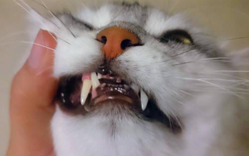 貓咪口炎怎麼治療
