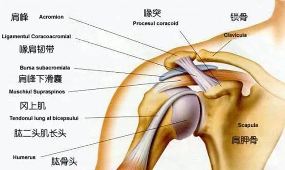 练瑜伽,稳定肩关节的练习,千万别忽视!_双手