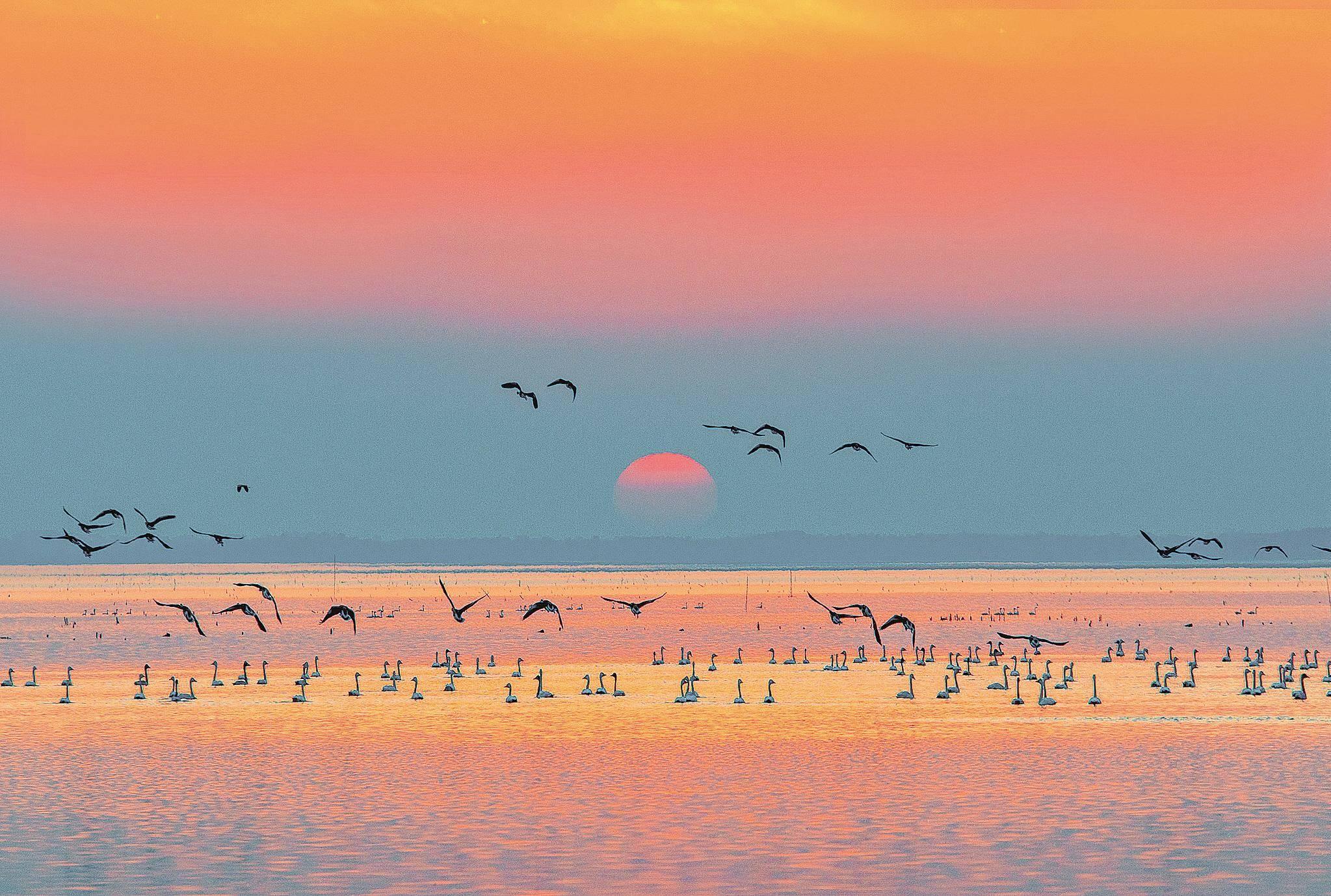 赤壁市黄盖湖:夕阳下候鸟栖息觅食