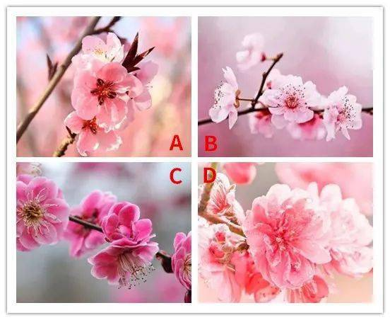 4枝桃花选一枝,测测谁一直默默的爱着你?