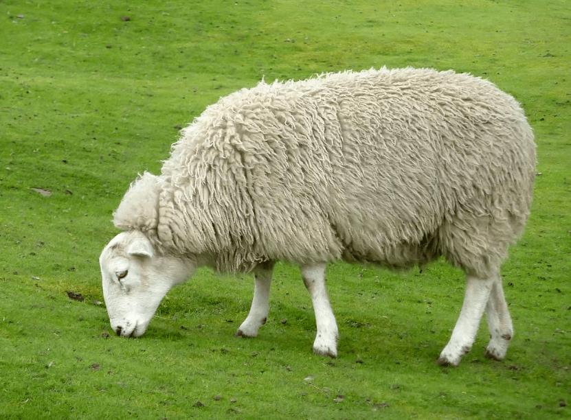 绵羊怎么喂育肥快?