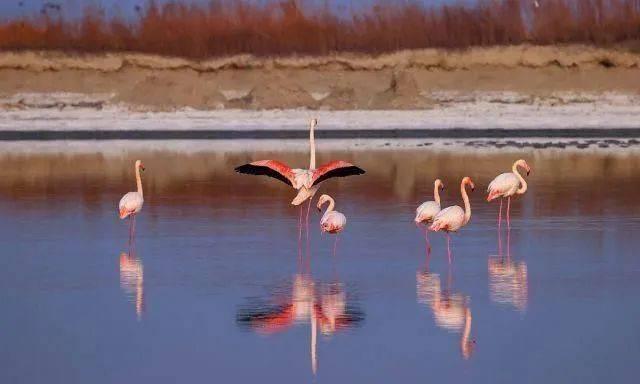 山西运城生态改善,大年初一气温回暖,火烈鸟常年栖息盐湖!  第3张