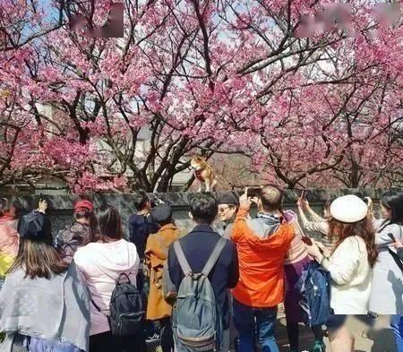 帅柴比樱花还抢眼球,变网帅吸引大批游客拍照!