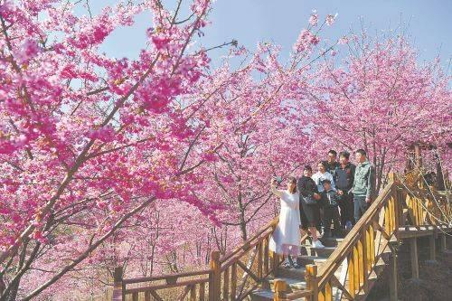 三明市大田县屏山美人茶景区:满园春色关不住