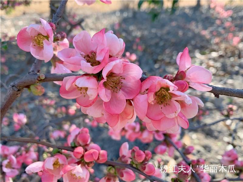邂逅早春 辰山植物园木瓜海棠烂漫绽放