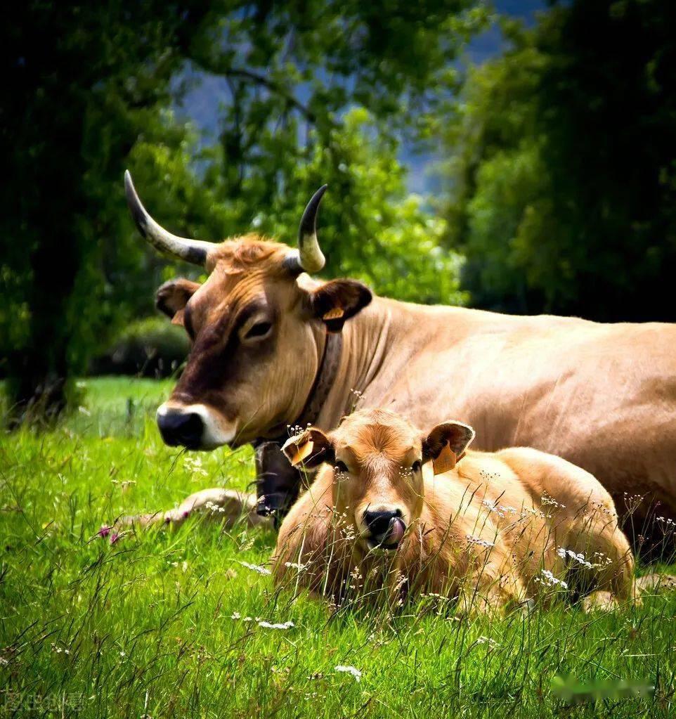 母牛被公牛配坏了 公牛配母牛几次
