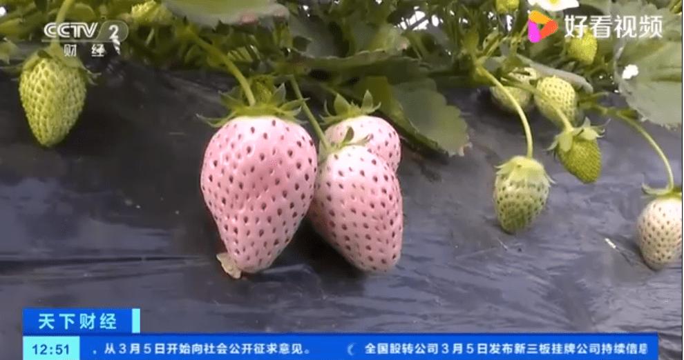 """青岛市""""五彩缤纷草莓苗""""爆红,有浅粉色、乳白色、浅黄色等多样"""
