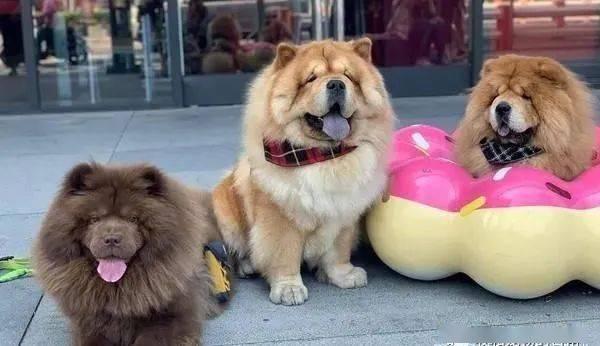 看见饲主要出门,3只大吨位的松狮犬瞬间化身为路霸!