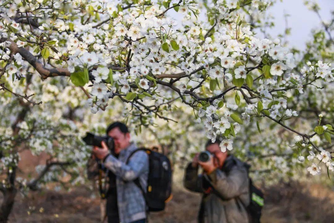 唐山这里的梨花太美了~免费自驾游 万亩梨花不玩虚的