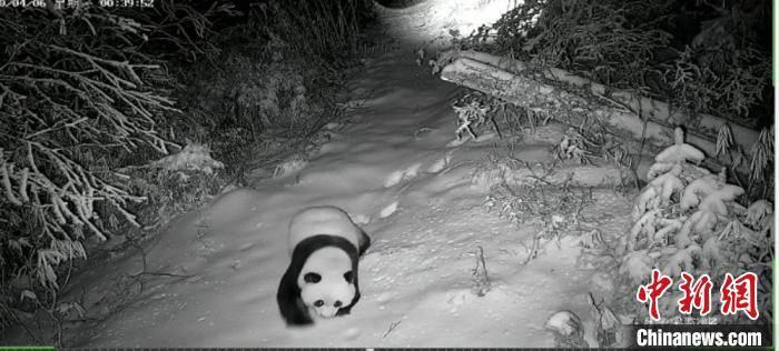 甘肃陇南多地首现野生大熊猫身影 频现带仔活动和吃播抢镜