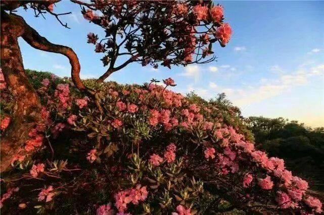 绚丽的五彩杜鹃怒放山野 田园风光也别有一番情趣