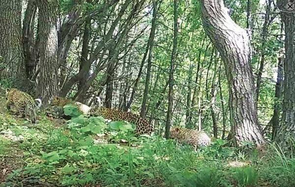 首次!山西省保护区拍摄到4只华北豹同框