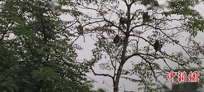 四川都江堰:川金丝猴群现身大熊猫国家公园
