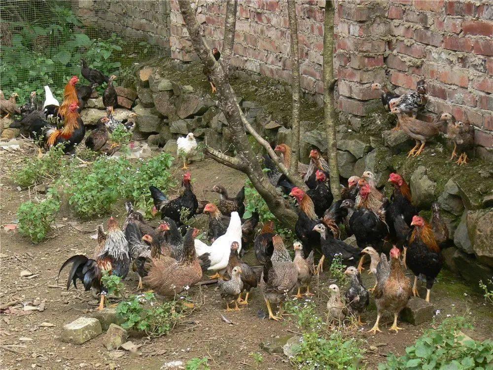 """世界是如何一步步被鸡""""占领""""的?"""