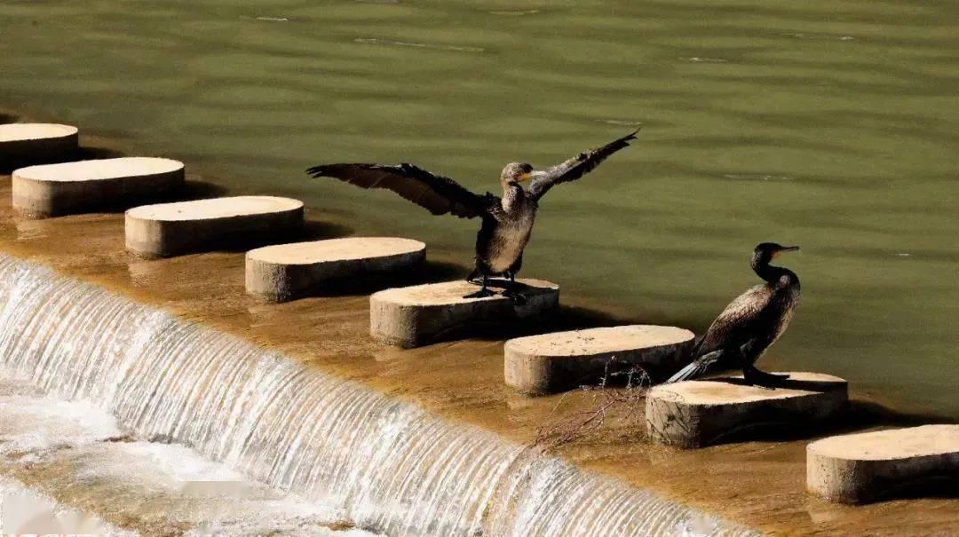 保护生物多样性 | 稀客!迭部滨江公园现鸬鹚身影