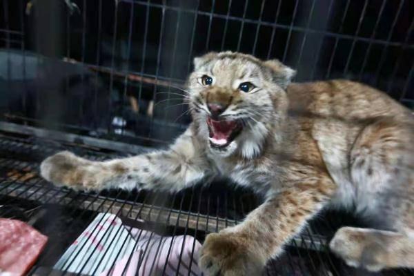 """恒宏首页好凶的""""大猫""""!保护动物猞猁闯民宅,被救护后放归自然 (图3)"""